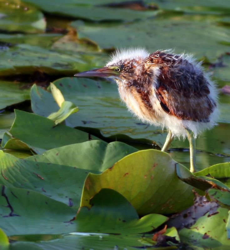 photos of baby bitterns   Least Bittern  chick in it s baby fur  photo    Least Bittern Baby