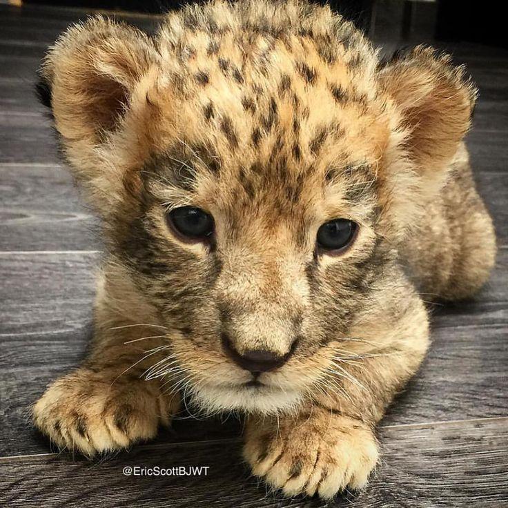 "Black Jaguar-White Tiger on Instagram: ""Baby Shambala by Mr Watermark…"