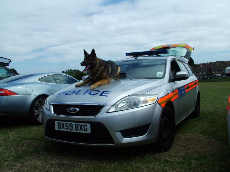 https://flic.kr/p/8jAyQT | Met Police Dog Section | Metropolitan Police Dog Section 2009 Ford Mondeo Edge Tdci 140 Estate with Bodie posing on the bonnet!  Seen at the Teviot Rangers Junior Football Open Day 2010