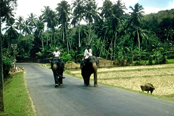 Elephants on the Road to Kandy in Ceylon (Sri Lanka) in the 1950's
