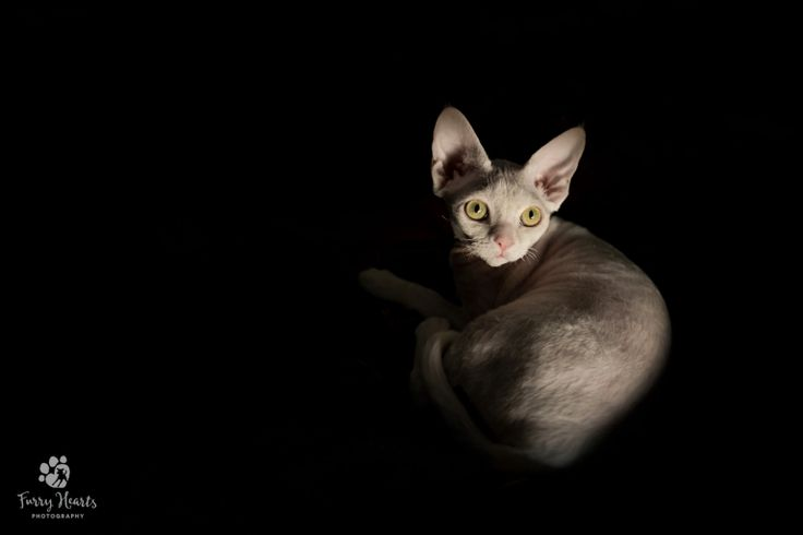 Low key portrait of White Devon Rex