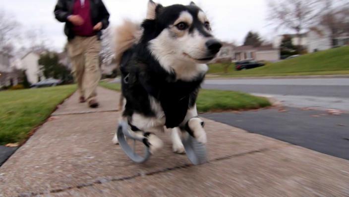 Dit is de hond Derby. Hij werd geboren met een afwijking waardoor hij niet kon rennen zoals elke andere hond. Maar dankzij 3D geprinte poten kan Derby vrolijk rennen zoals elke andere hond. Ik vind dit echt geweldig om te lezen in de krant. Dat men met 3D gemaakte dingen het leven van een mens of in dit geval een dier weer compleet kunnen maken. (bron: krant - soort item: hulpmiddel)