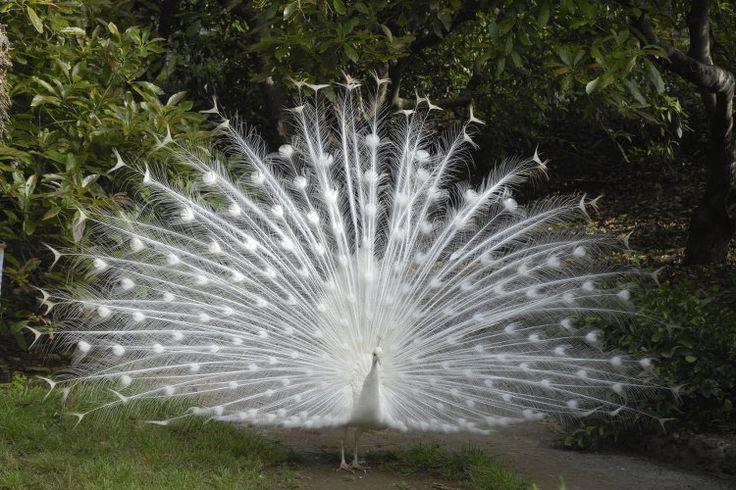 Le paon blanc de Madère : Les plus beaux jardins de Madère - Linternaute