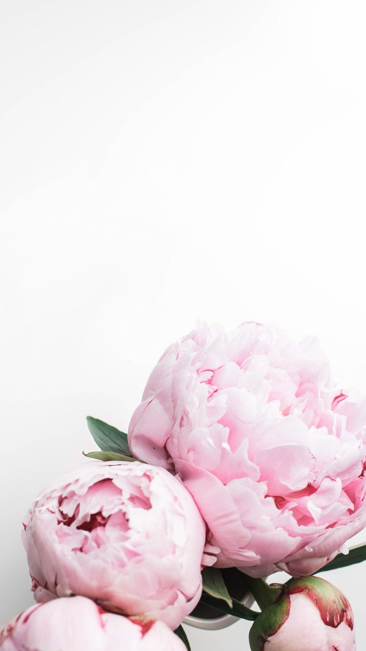 Peonies iPhone wallpaper