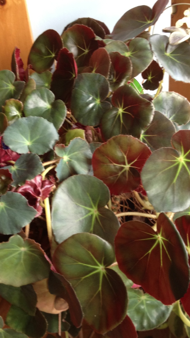 Elephant Ear Begonia Plant That Once Belonged To My Late Mother In Law House Plants