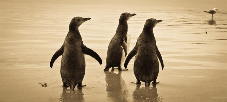 New Zealand's native Hoiho (yellow-eyed penguin) is the world's rarest penguin and lives in pockets throughout Dunedin's Otago Peninsula and in the offshore islands. Creator: Tourism Dunedin