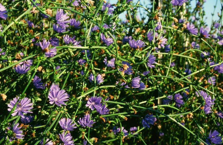I fiori del Radicchio IGP