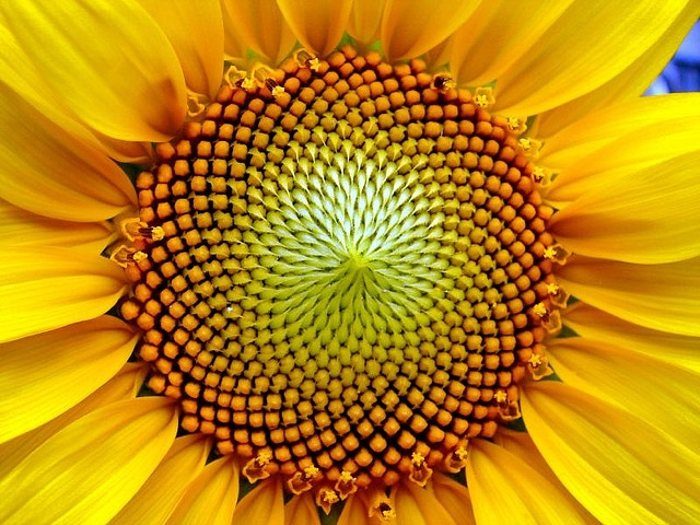 sunflower: the fibonacci sequence...who knew math could be so beautiful!
