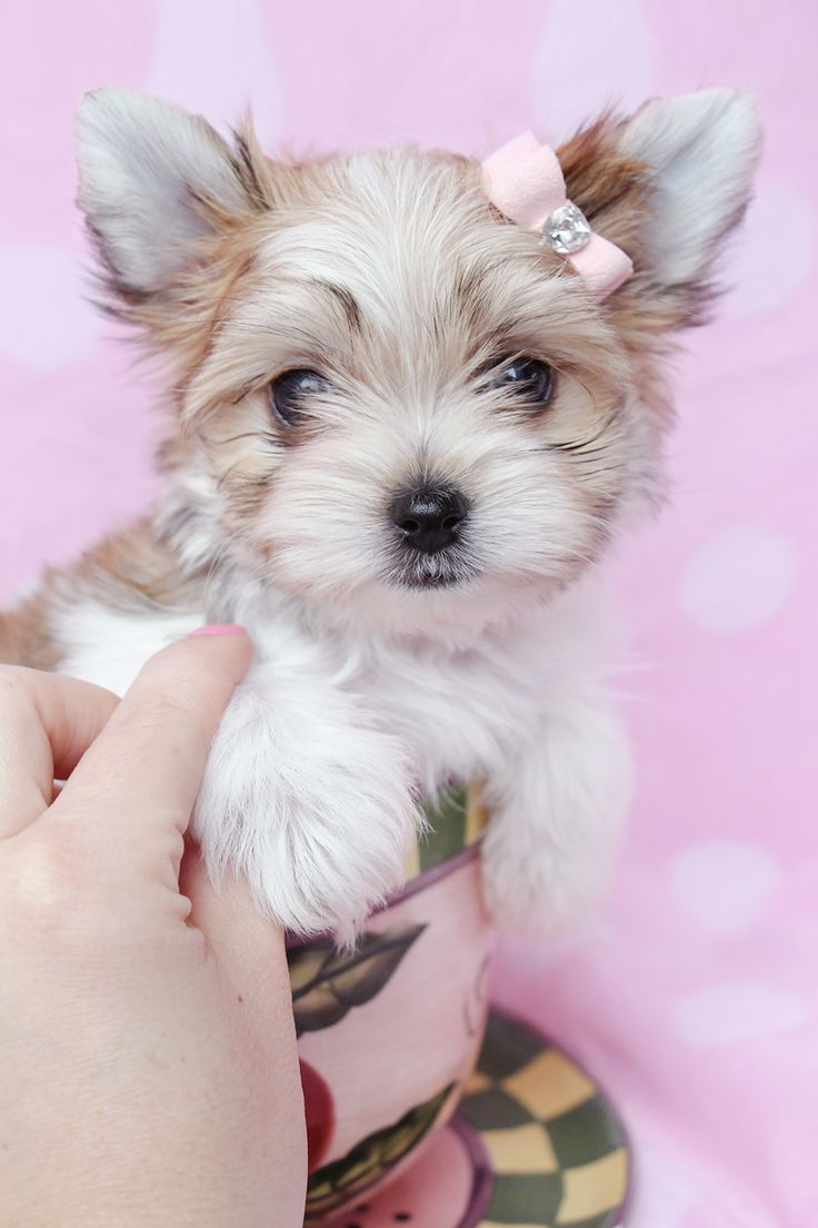 19 best Morkie Puppies at TeaCups Puppies & Boutique images on