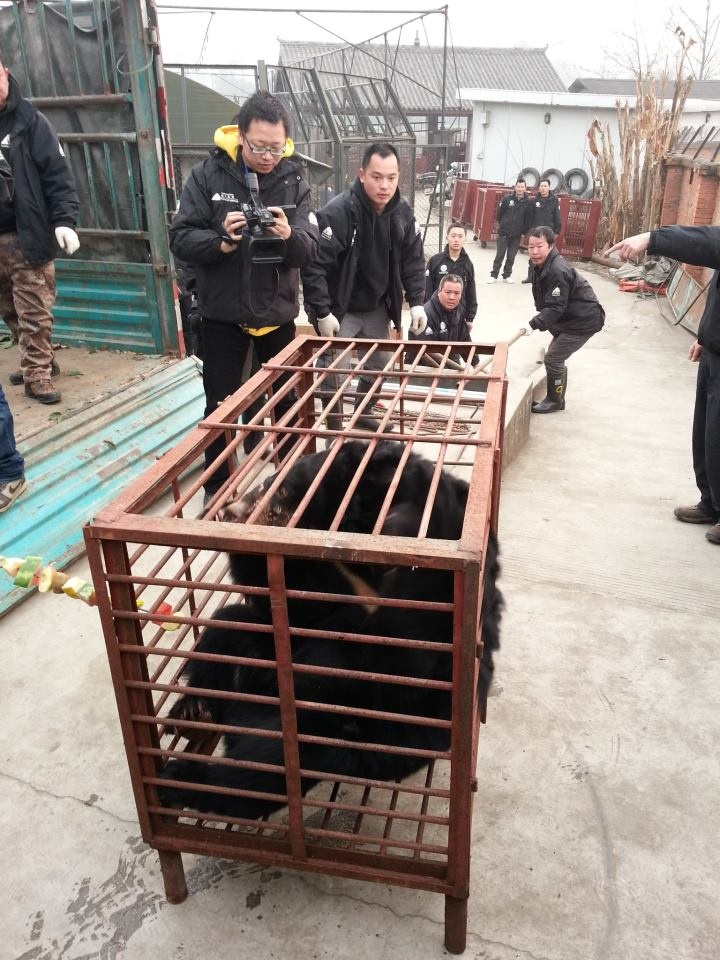Moon Bears are beautiful but abused in The Horrendous BEAR BILE ...