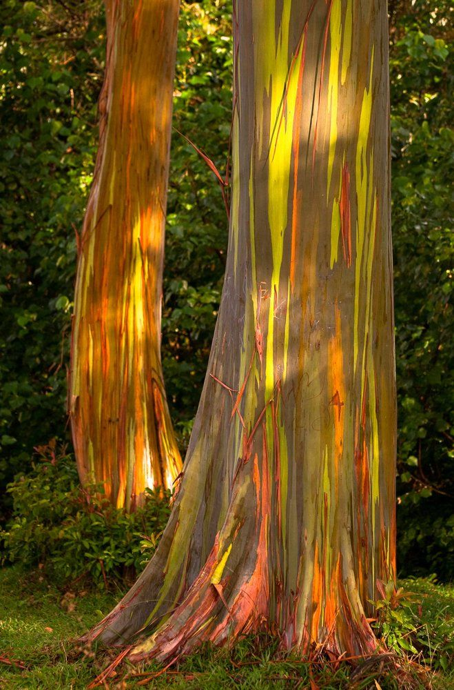 rainbow eucalyptus hawaii | jpg