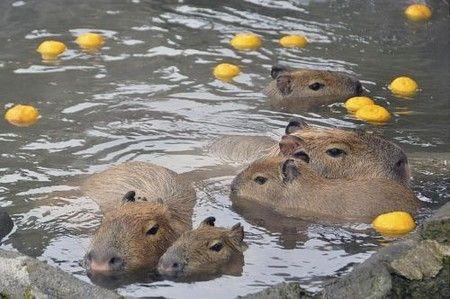 capibaras