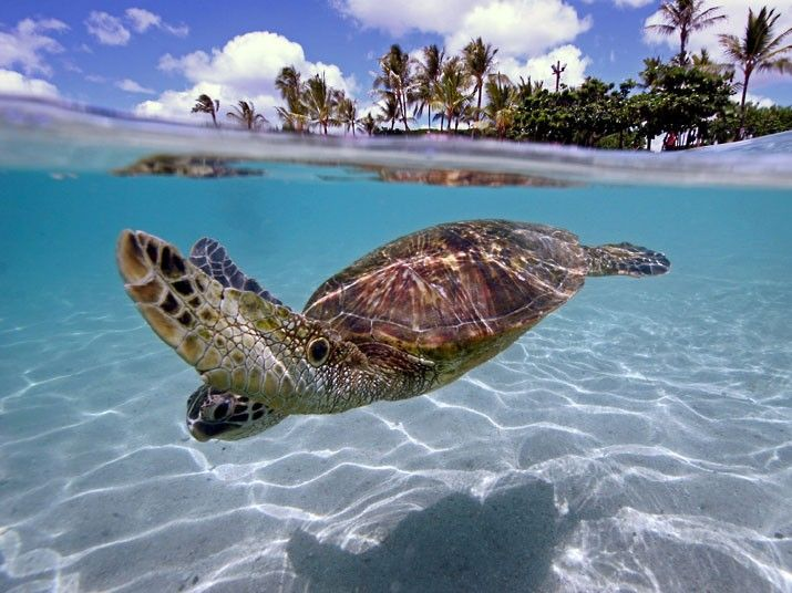 .Underwater Photos, Sea Creatures, Barbados, Keep Swimming, My Heart, Underwater Photography, Photography Competition, Sea Turtles, Animal