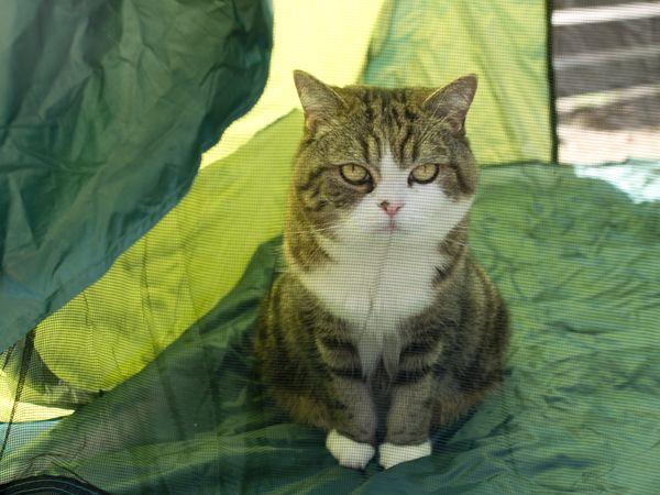 テントとまるとはな the tent and maru hana 私信 まるです テント ねこ 猫