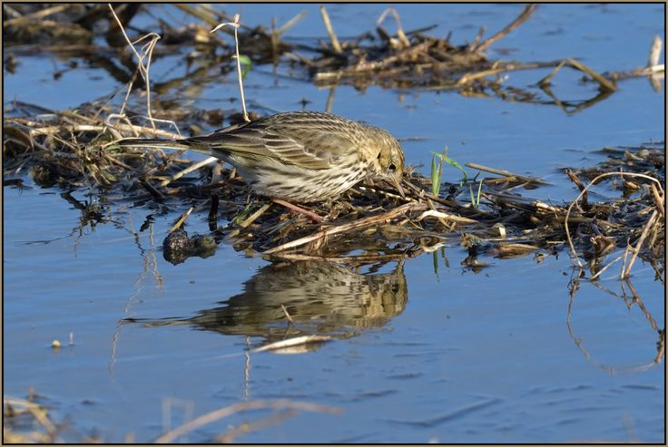 Meadow Pipit by Full Moon Images on Flickr