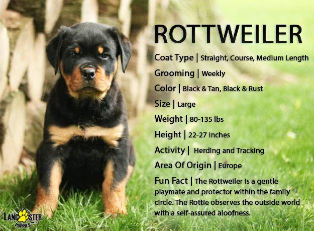 Rottweiler Puppies For Sale Rottweiler Puppies Rottweiler