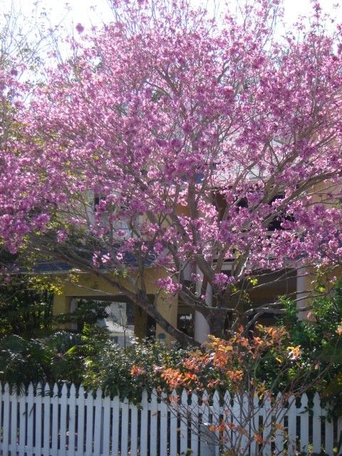 Purple Orchid Tree Gardens Pinterest Orchids And