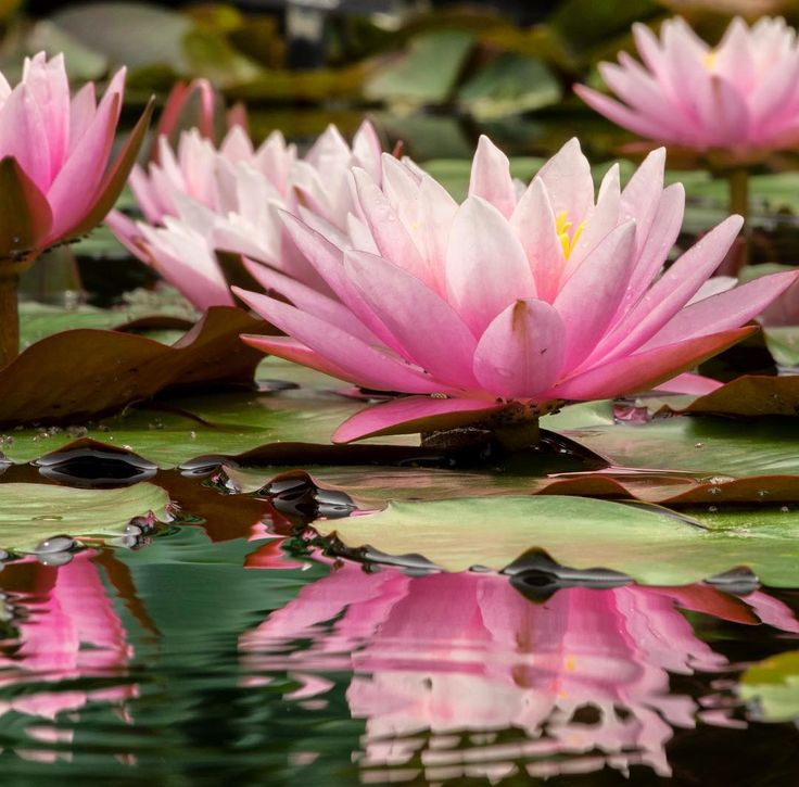 Happy Friday! 🌸 #LongwoodGardens #AutumnsColors #beauty #waterlily #reflections #phillysymmetry  Photo by William Hill.