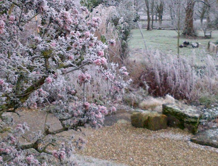 Viburnum bodnantense 'Dawn' on a frosty December morning. Wiston House West Sussex