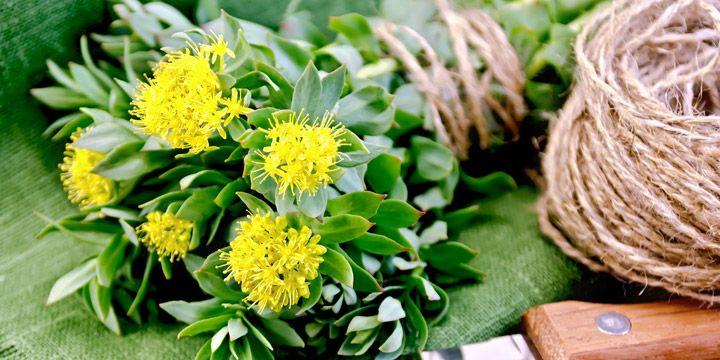 Rodiola: una piccola pianta dai grandi poteri La rodiola rosa è una pianta perenne facente parte della famiglia delle Crassulaceae, originaria della Siberia e molto diffusa anche in Mongolia, Lapponia e in Alaska. #IAFSTORE #dieta #salute #benessere