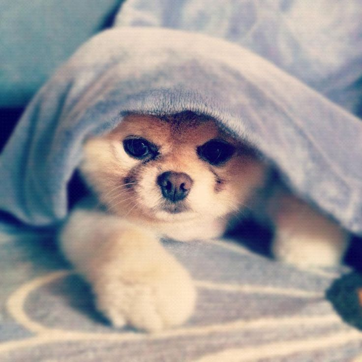 Amazing Boo Chubby Adorable Dog - fe6194262c5a7b74fc80571a9cce8fa4--world-cutest-dog-cutest-dogs  Photograph_92670  .jpg