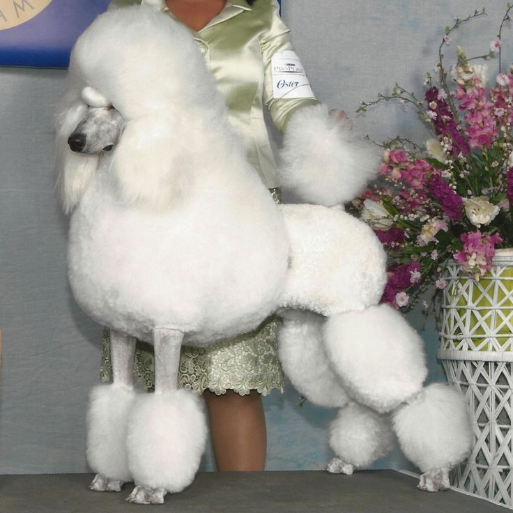 White Standard Poodle in #EnglishSaddleClip | Poodle Forum ... - photo#32