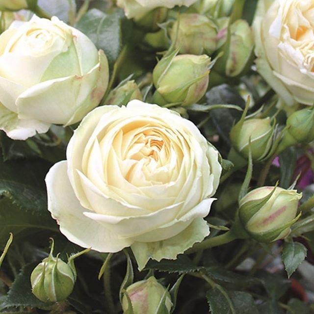 Peony Alternative - Piano Roses