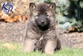 akita german shepherd corgi mix 1000 ideas about german shepherd corgi mix on pinterest 4198
