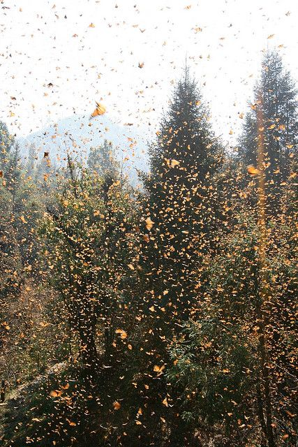 "Monarch butterfly migration at Cerro Pelon Sanctuary in Mexico   ""It's snowing butterflies!"""
