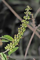 Ocimum tenuiflorum, Holy Basil (also tulsi, tulasī), is amazing