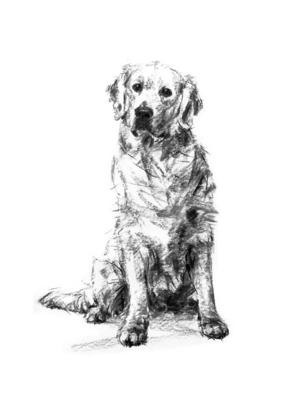 Sold Golden Retriever Charcoal Sketch Original In 2020 Dog