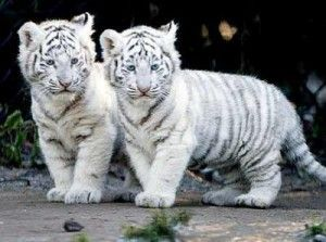 Jeunes tigres blancs  Une espece menacee