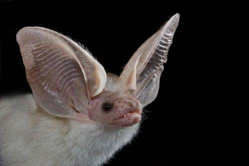 Desert Long-Eared Bat (Otonycteris hemprichii)
