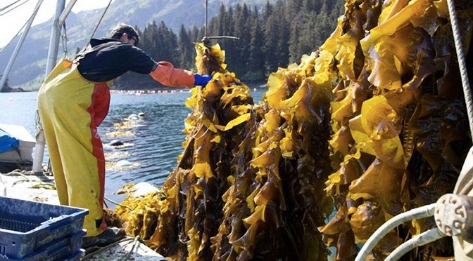 """Sugar kelp (Saccharina latissima, a type of Kombu) has an """"umami"""" flavor — a fifth flavor profile in the human palette, defined as meaty and savory. Kelp's glutamic acid (a type of amino acid) is the basis of flavor enhancer monosodium glutamate, or MSG."""