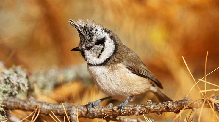 Les 25 meilleures id es de la cat gorie m sange hupp e sur for Oiseaux de nos jardins