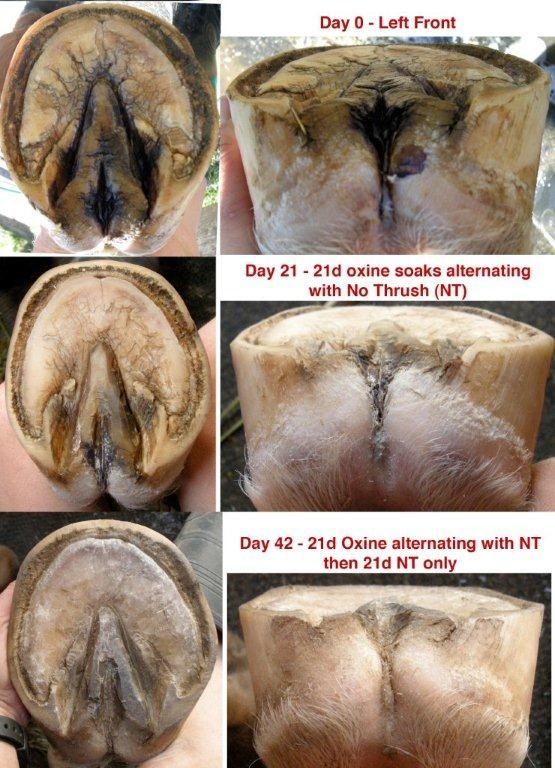 Great pics of Thrush and shows the damage to hoof structure that it can cause. www.ThoughtfulEquestrian.com