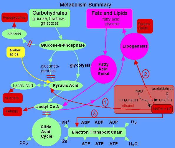 cellular respiration diagram with carbohydrates, lipids, and amino acids - Google Search