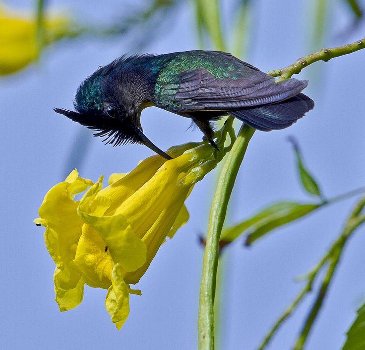 Male Antillean Crested Hummingbird (Orthorhyncus cristatus)