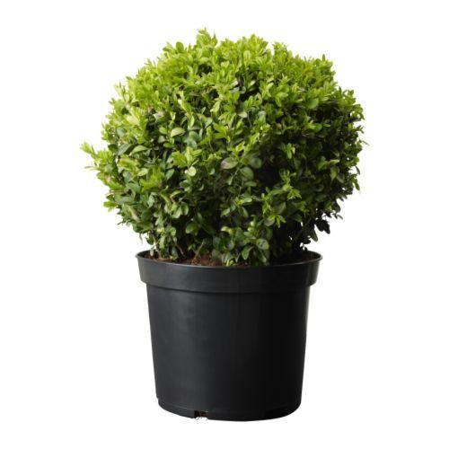 Ikea buxus sempervirens plante en pot choisissez pour for Plantes decoratives exterieur