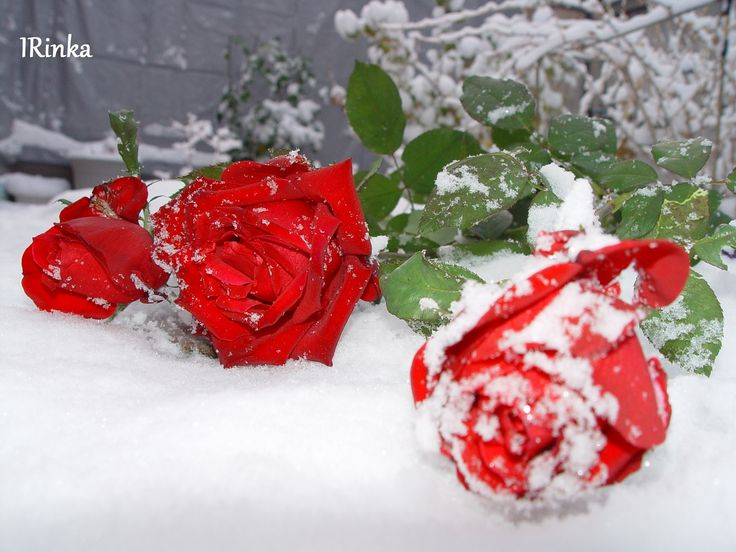 фото розы на снегу и след человека этой