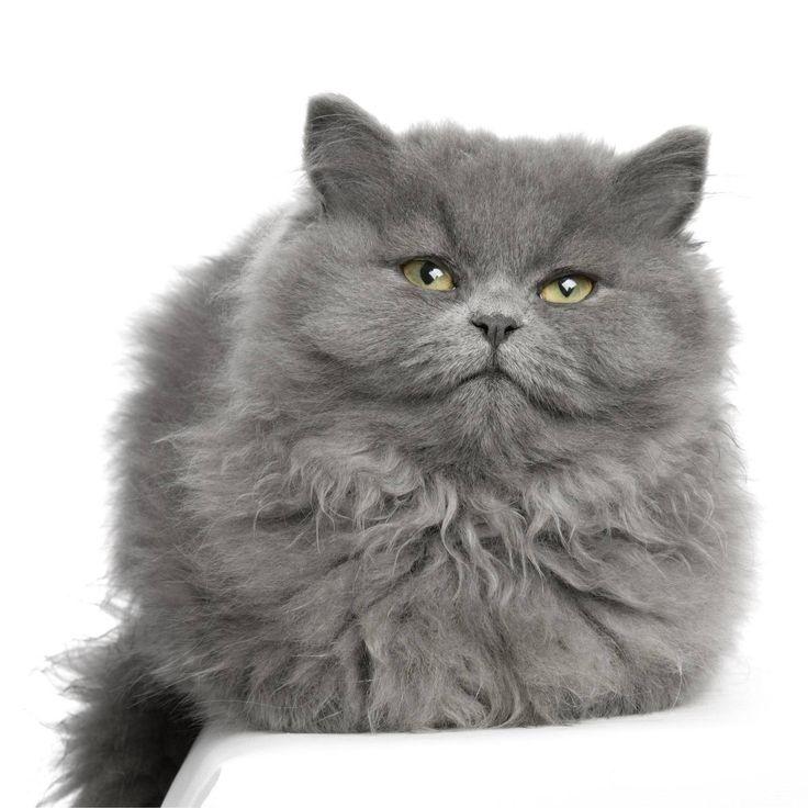gatos gordos - Buscar con Google