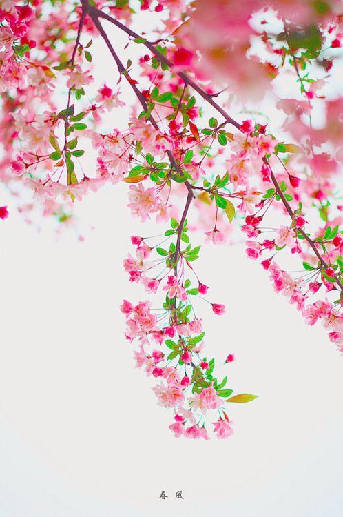 A blossom here, a blossom there. A cherry blossom everywhere.