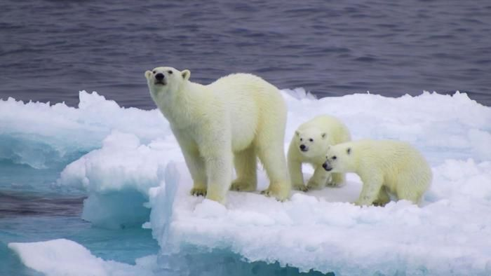 What is the polar bear's ecological niche?
