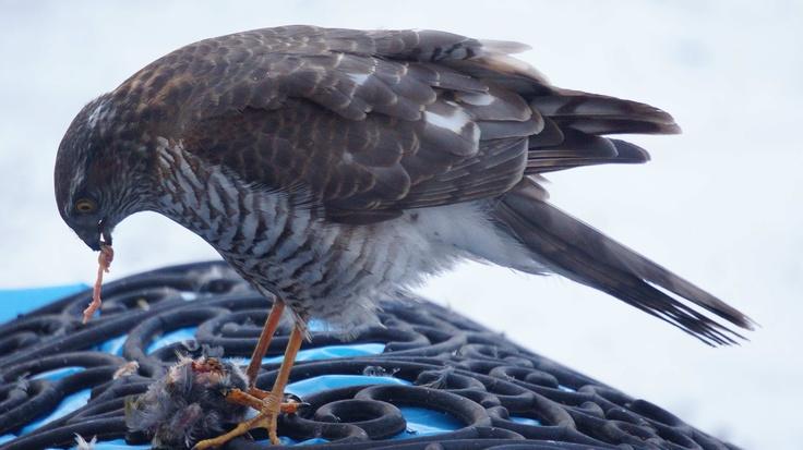 Eurasian Sparrowhawk at breakfast