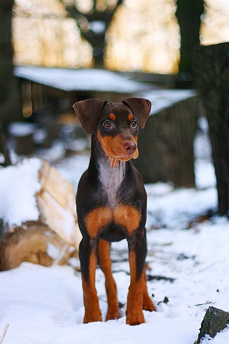 First chocolate German Pinscher in Estonia!