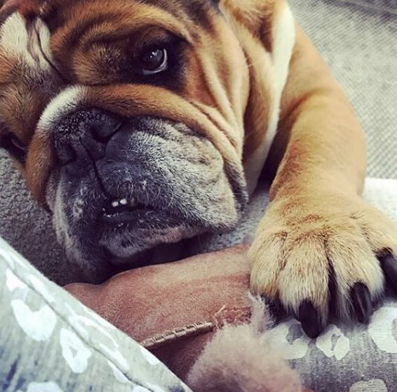 Your Best Friend – English Bulldog?