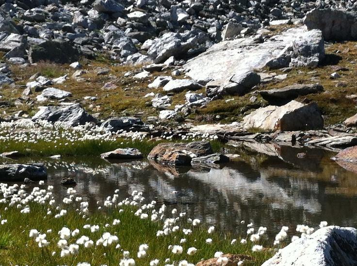 die Wollblume am Malersee