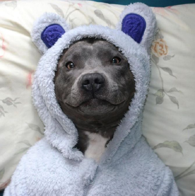 Ramsey | The Adorable Smiling Blue Staffy