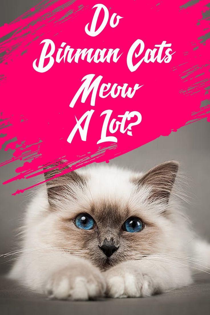 Do Birman Cats Meow A Lot In 2020 Birman Cat Cats Birman Kittens