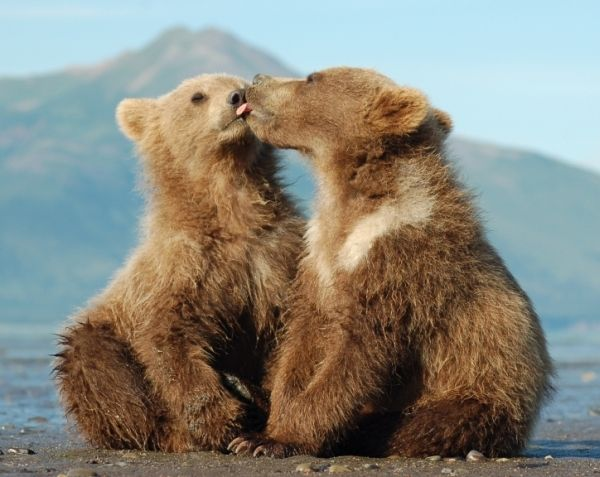 Grizzly cubs Denali (right,male) and Sitka (left, female) in Hallo Bay, Katmai National Park